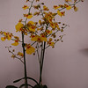 Oncidium Paris 2008
